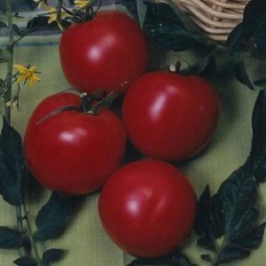 Arkansas Traveler indeterminate heirloom tomato