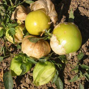 Grande Rio Verde Tomatillo