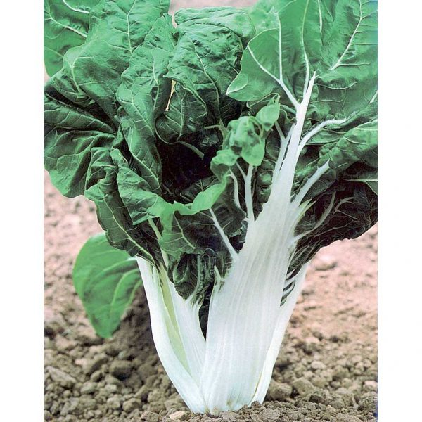 Verde a Costa Larga Argentata 2 Swiss Chard Seeds from our Italian Gourmet Seed Collection