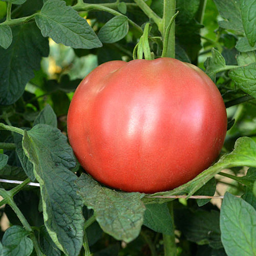 Cherokee Purple Heirloom Tomato