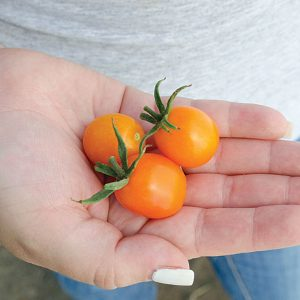 Amarillo F1 Hybrid Golden Cherry Tomato