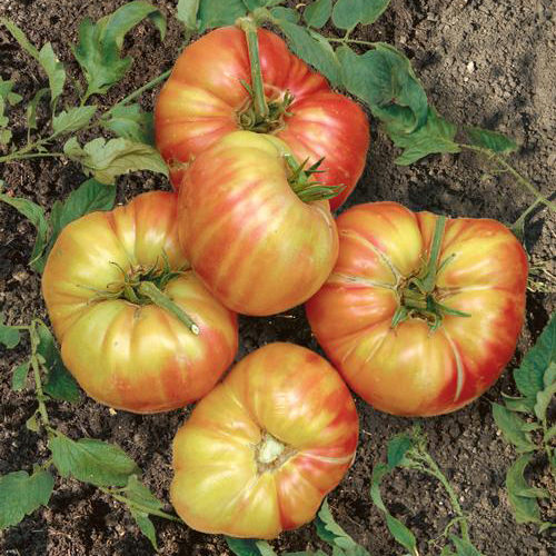 Mr. Stripey Heirloom Tomato