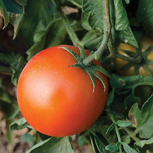 Sacramento F1 Hybrid Tomato