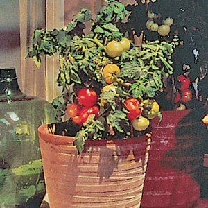 Patio F1 Hybrid Tomato