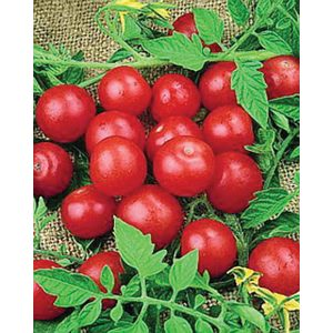 Small Red Cherry Heirloom Tomato