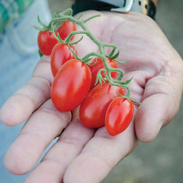 Dolce Vita F1 Hybrid Greenhouse Forcing Tomato