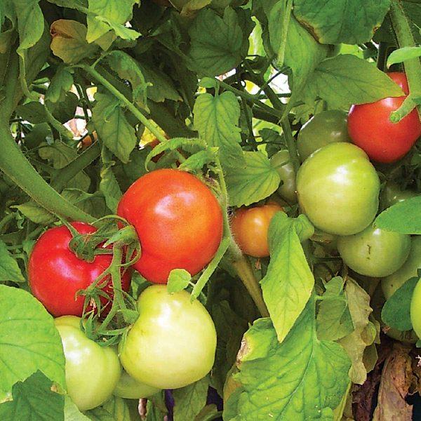 Red Ripe F1 Hybrid Tomato