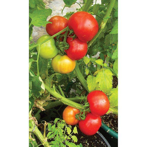 Red Hero F1 Hybrid Tomato