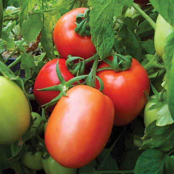 Red Head F1 Hybrid Plum Shaped Saladette Tomato