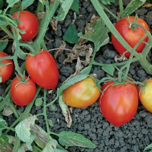 Mely F1 Hybrid Tomato