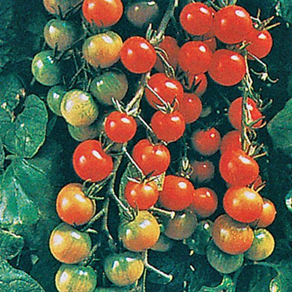 Super Sweet 100 F1 Hybrid Cherry Tomato