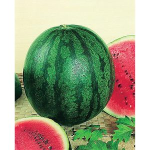 Bush Sugar Baby Watermelon