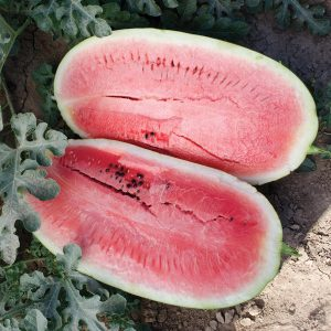 Plantation Pride F1 Hybrid Watermelon