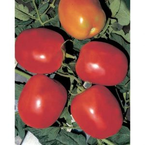 Rio Grande Italian Plum Tomato from our Italian Gourmet Seed Collection