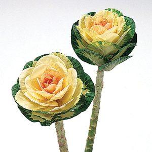 Sunrise Ornamental Flowering Kale