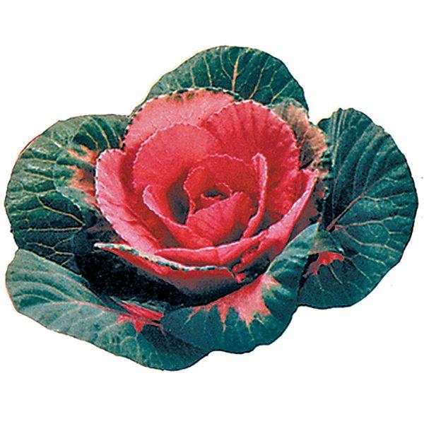 Sunset Ornamental Flowering Kale