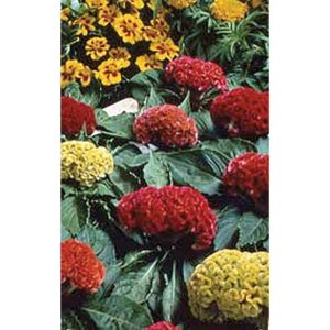 Cockscomb Mix crested type celosia