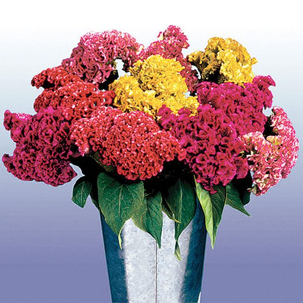 Bombay Mix Crested Type Celosia