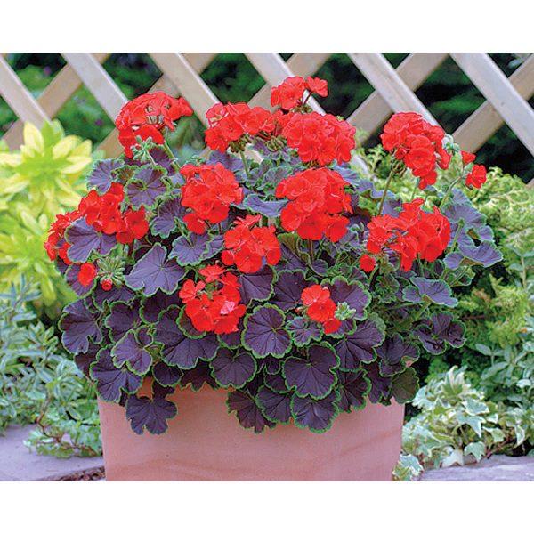 Black Velvet F1 Hybrid Scarlet Geranium