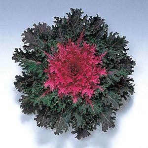 Coral Queen F1 Hybrid Flowering Kale