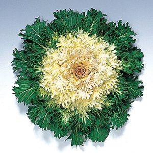 Coral Prince F1 Hybrid Flowering Kale
