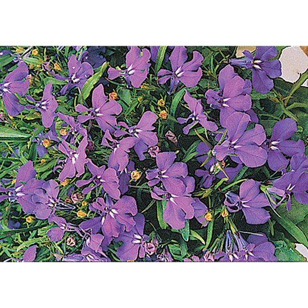 Cobalt Blue Trailing Type Lobelia