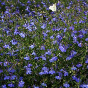 Sapphire Trail Lobelia Seeds