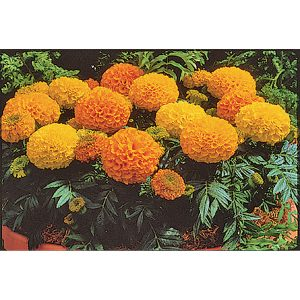 Antigua Mix Hybrid Marigold