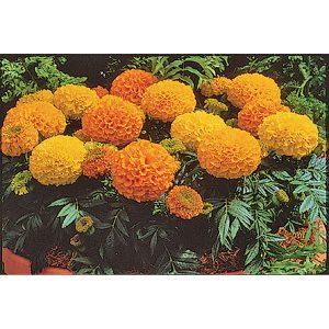 Antigua Mix Hybrid Marigold