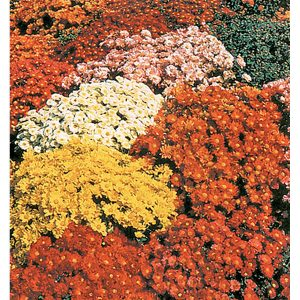 Double & Semi Double Mix Chrysanthemum