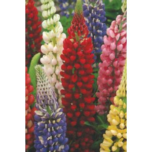 Russell Strain Mixed Lupine