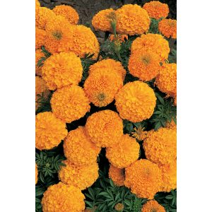 Inca II Orange Hybrid Marigold