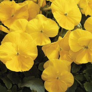 Karma Yellow Pansy
