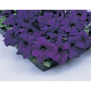 Supercascade Blue Petunia Single Grandiflora Hybrid
