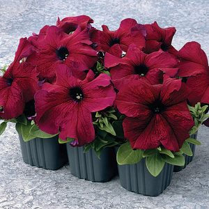Supercascade Burgundy Petunia Single Grandiflora Hybrid