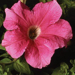 Supercascade Pink Petunia Single Grandiflora Hybrid