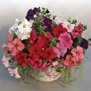 Supercascade Mix Petunia Single Grandiflora Hybrid
