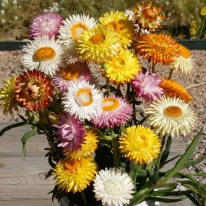Tall Mix Strawflower Seeds