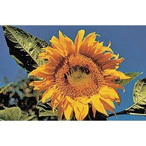 Mammoth Russian Sunflower