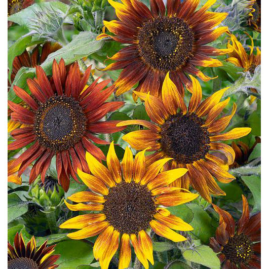Mardi Gras Blend Sunflower