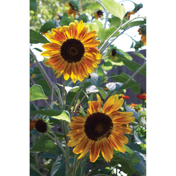 Musicbox Mix Sunflower