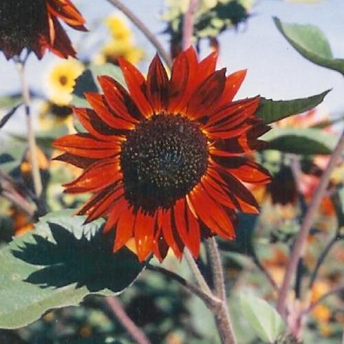 Red Sun Sunflower Seeds