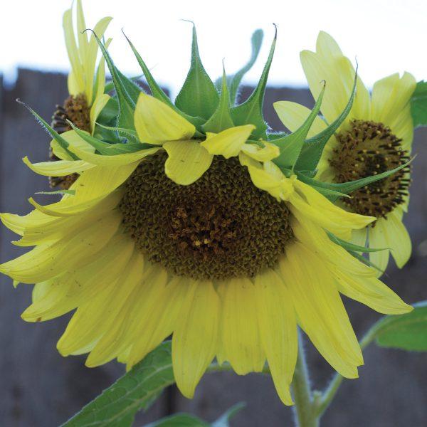 Lemon Queen Sunflower