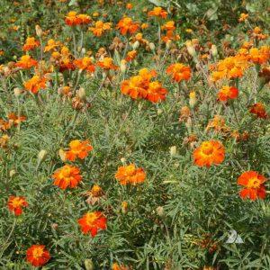 Nematode Control Cover Crop Seed