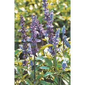 Victoria Salvia farinacea Mealycup Sage