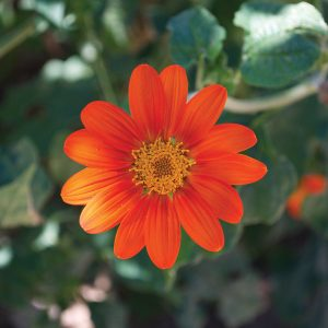 Torch Tithonia rotundifolia