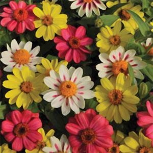 Zahara Raspberry Lemonade Mix Zinnia
