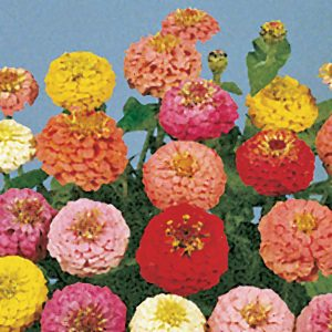 Lilliput Pom Pom Mix Zinnia