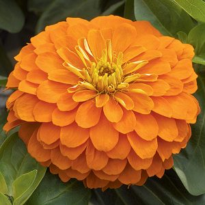 Magellan Orange Zinnia