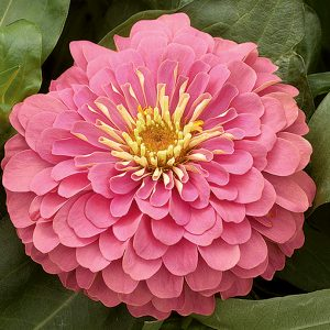 Magellan Pink Zinnia